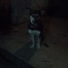 Найден пес. Киев. Борщаговка
