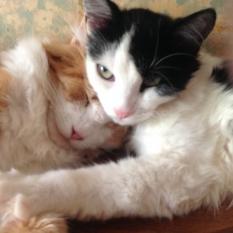 Потерялась черно-белая длинношерстная кошка