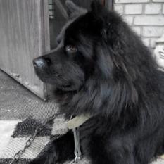 Потерялась собака «Блек»