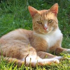 Потерялся рыжий кот с.Горенка