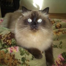 Пропал кот г. Николаев