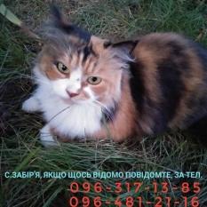 Пропала кішка с Забір'є(Боярка)