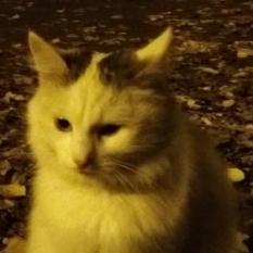 Белая пушистая кошка, серые уши и хвост