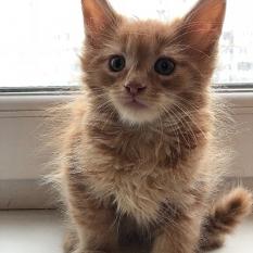СРОЧНАЯ продажа котят мейн кун