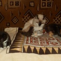 Отдам БЕСПЛАТНО домашних котят в хорошие руки!