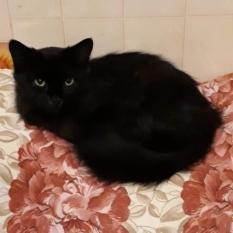 Пропала кошка Багира