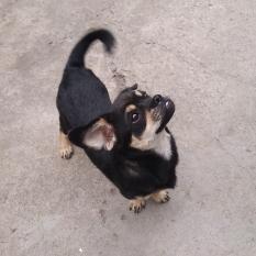 Пропала собака по кличке Мартин помесь таксы и дворняги АНД Днепр