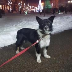 Нашли собаку Киево-Святошинский р-н, с.Чайки, с. Петропавловская Боршаговка