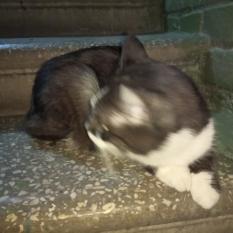 Найдена кошка(кот) Киев, Соломенский р-н