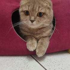 Пропала кошка шотландская Вислоухая