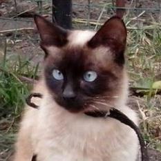 Пропала сиамская кошка Днепр, пр.Слобожанский