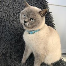 Нашлась кошка  в голубом ошейнике
