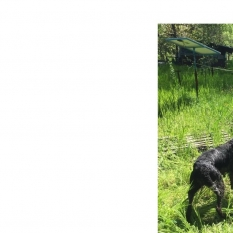 Пропала собака, дратхаар, девочка (Верхняя Хортица, Запорожье)