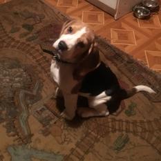 Пропала собака породи Бігль