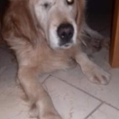 Найдена собака светло-жёлтый метис спаниеля