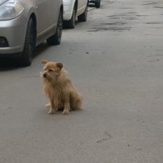 Нашлась собака Киев. Павловская