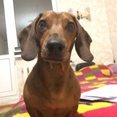 Найдена собака такса (КИЕВ/Троещина)
