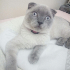 Допоможіть знайти кошеня віслоухе (БРИТАНЕЦ) Переяслав-Хмельницький