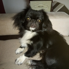 Ищем самых заботливых хозяев для чудесной собаки. Японский хин Джос.