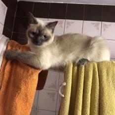 Пропала кошка, потерялась кошка с голубыми глазами, Новобеличи, ул. Генерала Наумова