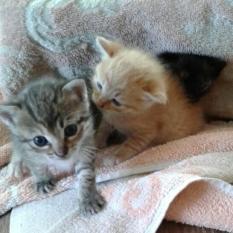 Прекрасные котята в добрые руки Бердянск