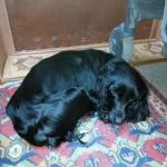 Найдена собака в Запорожье сука кокер-спаниеля черного цвета
