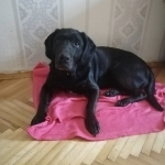 Найден лобрадор (девочка) - Петропавлоская Борщаговка, Киев