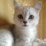 Британский короткошерстный котик серебристая шиншилла