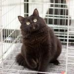 Котик Черныш, 2 года, кастрирован, привит