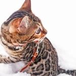 Бенгальский котенок из сертифицированного питомника в системе WCF