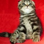 Клубные шотландские вислоухие котята