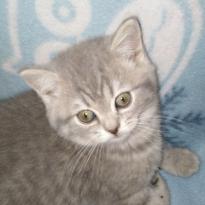Продам шотландского котенка