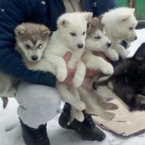 СРОЧНО продадим малышей Аляскинкий Маламут