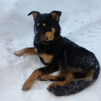 Собачка, мальчик 6-8 месяцев, черно-коричневый окрас, ласковый)