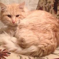 Рыжая взрослая кошка
