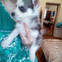 Продам щенков сибирской
