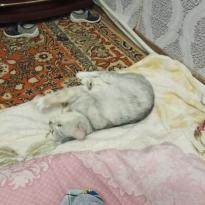 Шиншиловая кошка