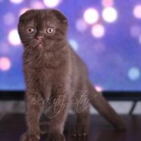 Шоколадный вислоухий котенок