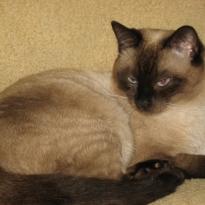 Тайский котик тоскует