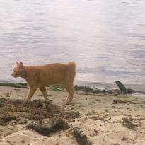 Пропала Рыжая кошка,без хвостика