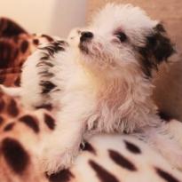 Паудерпуф китайская хохлатая собачка