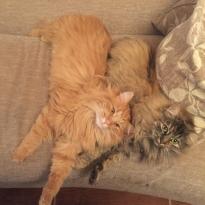 Отдам в хорошие руки двух очень ручных, добрых и ласковых котиков.