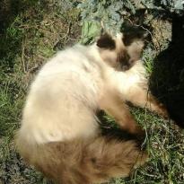 UPD10.05.18 НАШЕЛСЯ!!!!!!!!!Потерялся котик с.Гатное(Киевская обл)