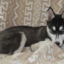 Прекрасная малышка, породы Сибирской Хаски. Документы КСУ/FCI