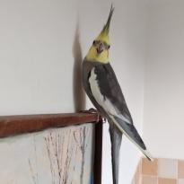 Улетел (пропал) попугай корелла Харьков