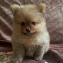 Продам щенка померанского шпица 380$