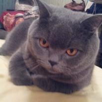 Пропал кот породы БРИТАНЕЦ