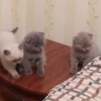 Срочно продаються британські короткошерстні кошенята