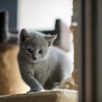 Чистокровный котенок породы Русская голубая.