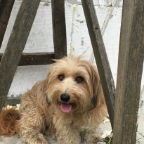 Пропала собака Люсі. с. Мелешків